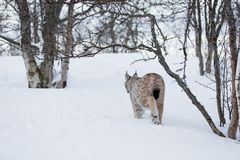 Lynx walking in cold forest Royalty Free Stock Photography
