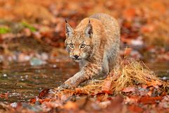 Lynx walking in the orange leaves with water. Wild animal hidden in nature habitat, Germany. Wildlife scene from forest, Germany. Lynx in autumn vegetation in stock photo