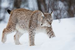 Lynx walking in the snow. A european lynx in the snow. Cold winter, February, Norway Stock Photo
