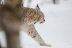 Lynx walking in snow. A european lynx in the snow. Cold winter, February, Norway Royalty Free Stock Images