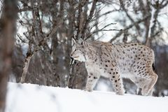 Lynx walking in the snow. A european lynx in the winter. February, Norway Stock Photography