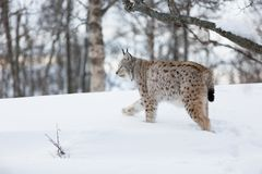 Lynx walking in the snow. A european lynx in the winter forest. February, Norway Stock Photo