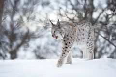 Lynx walks in the cold winter forest Stock Photo