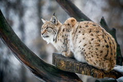 Lynx watching for prey Royalty Free Stock Photos