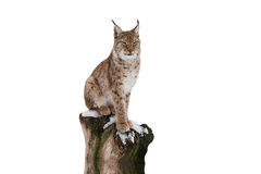 Lynx Stock Images