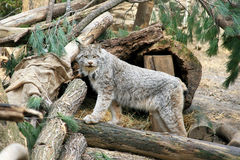Lynx in the Wild Stock Images