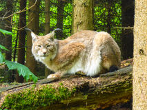 Lynx. In the wild in the Bavarian Forest, Germany Stock Images
