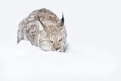 Lynx Wild Cat. A Eurasian Lynx lying down in the snow, looking towards the camera and licking its lips Royalty Free Stock Image