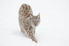 Lynx Wild Cat. A Eurasian Lynx slowly walking through the snow and looking at the camera Stock Image