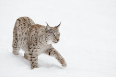 Lynx Wild Cat. A Eurasian Lynx slowly walking through the snow and looking at the camera. Eurasian Lynx slowly walking through the snow Royalty Free Stock Photography