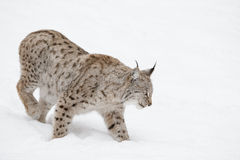 Lynx Wild Cat. A Eurasian Lynx slowly walking through the snow and looking at the camera. Eurasian Lynx slowly walking through the snow Stock Photography