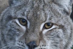 Lynx wild cat portrait. From whole body to just head Stock Photography