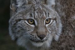 Lynx wild cat portrait. From whole body to just head Royalty Free Stock Photos