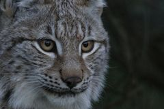 Lynx wild cat portrait. From whole body to just head Royalty Free Stock Image