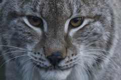 Lynx wild cat portrait Stock Photography