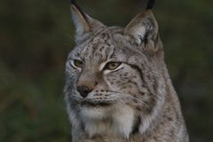 Lynx wild cat portrait. From whole body to just head Stock Photo