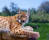 Lynx in wild nature. Lynx lying on the background of wild nature Stock Photo