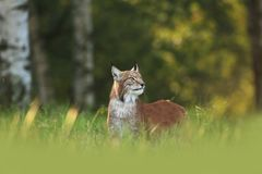 Lynx lynx. Wild nature of Czech. Autumn nature. The wild nature of Europe. Beautiful nature of Czech. Photo was taken in the Czech Republic. Occurrence is in Stock Photos