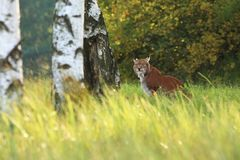 Lynx lynx. Wild nature of Czech. Autumn nature. The wild nature of Europe. Beautiful nature of Czech. Photo was taken in the Czech Republic. Occurrence is in Royalty Free Stock Photos