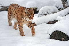 Lynx in winter. A lynx going on snow in winter in-field Royalty Free Stock Photo