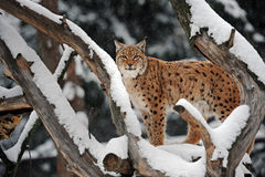 Lynx in winter. A lynx is in a natural habitat Stock Image