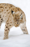 Lynx in winter Royalty Free Stock Images