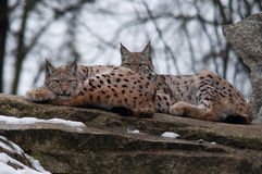 Lynx in winter. Famylim of  lynx in winter Royalty Free Stock Photography