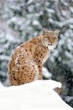 Lynx in winter. Beautiful wild lynx in winter Stock Photography
