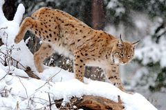 Lynx in winter Stock Images