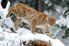 Lynx in winter. Beautiful wild lynx in winter forest Royalty Free Stock Image