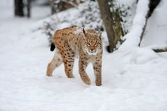 Lynx in winter day Stock Image