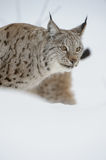 Lynx in Winter. Stock Image