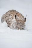 Lynx in Winter Stock Photo
