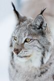 Lynx in the winter. A european lynx in the forest. February, Norway Stock Photography