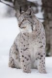 Lynx in the winter. A european lynx sits in the snow. Cold winter, February, Norway Royalty Free Stock Photo