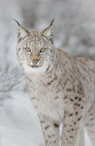 Lynx in winter. A European lynx stares at the photographer for a fleeting moment Royalty Free Stock Photo
