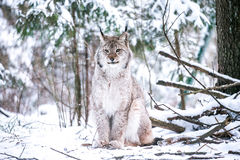 Lynx in a Winter Forest Royalty Free Stock Images