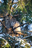 Lynx in a Winter Forest Royalty Free Stock Photography