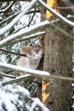 Lynx in a Winter Forest Stock Image