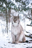 Lynx in a Winter Forest Royalty Free Stock Image