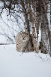 Lynx in the winter forest. A european lynx sits in the snow. Cold winter, February, Norway Stock Photos