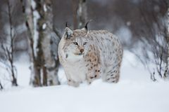 Lynx in winter forest Stock Photos