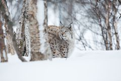 Lynx in winter forrest. A european lynx in the snow. Cold winter, February, Norway Stock Images