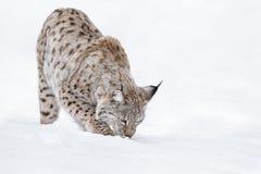 Lynx in Winter Royalty Free Stock Photos