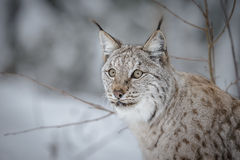 Lynx in winter, Norway Royalty Free Stock Photography