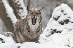 Lynx in winter. Sitting lynx with open mouth showing his fangs and tongue, in winter forest Stock Image