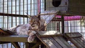 Lynx woke up and licks itself stock footage