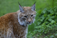 Lynx. In the woods, large red wild cat looks almost into the camera Stock Photography