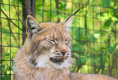 Lynx yawning 1. Lynx preparing to yawn, green leaves in the background Royalty Free Stock Photos