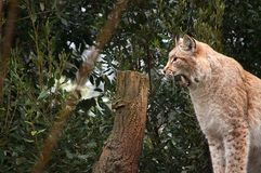 A lynx yawning as it wakes up. With bushes in the background Stock Image